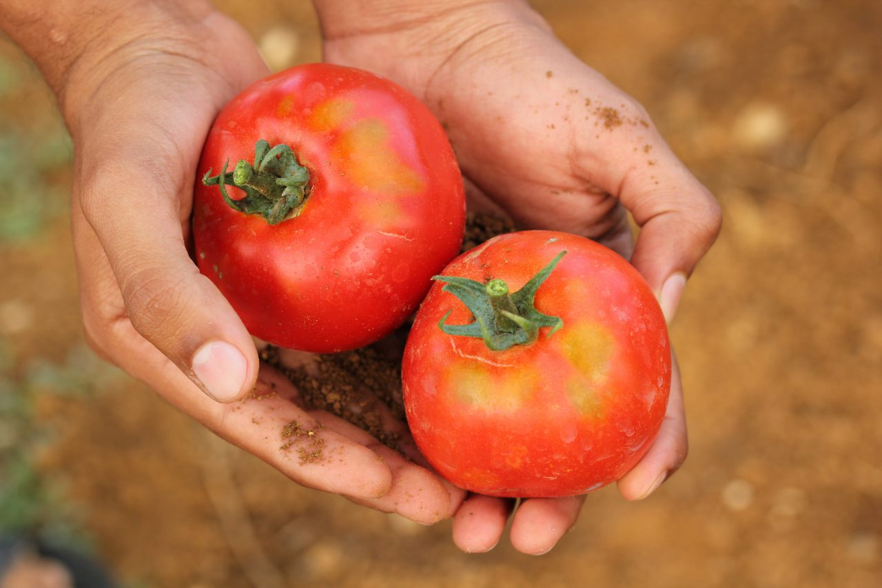 1520747729_tomato_2450370-1280x853.jpg