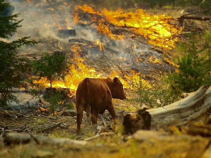 Bir Savaş Politikası Olarak Orman Yangınları Ve Hayvanlar…