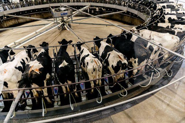 """Almanya'daki """"modern"""" bir süt üretim fabrikasında sağımhane, Wikipedia arşivi"""