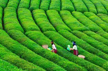 Çay Üreticilerinden Acil Çözüm Çağrısı!