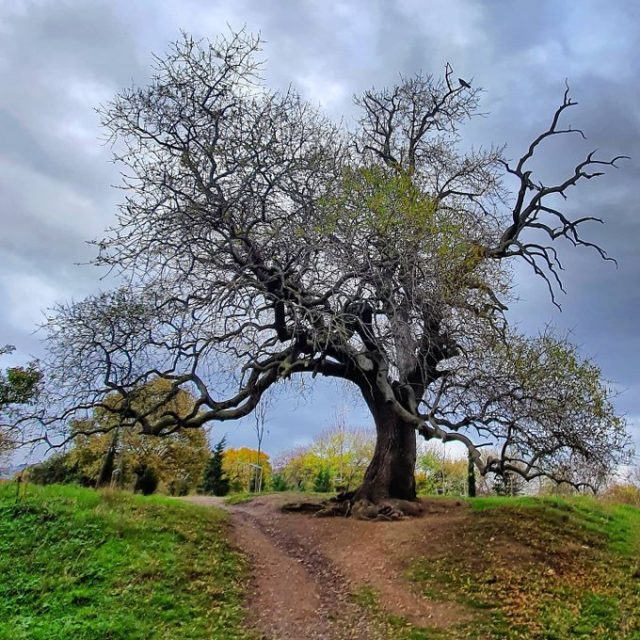 Anıt ağaç Validebağ