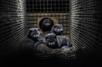 Pandemi Hayvan Hakları İhlallerini Görünmez Kıldı